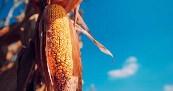 El presidente anunció que el precio de garantía que se pagará a los productores en México será a partir de ahora, de 5,610 pesos por tonelada